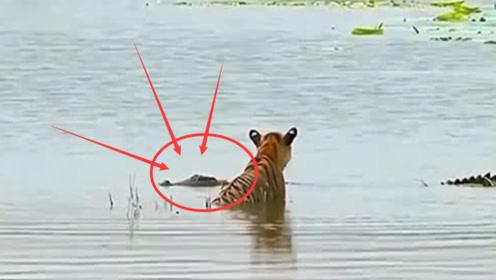 老虎水中泡澡,突遇水中霸主鳄鱼!然而意想不到的事发生了!