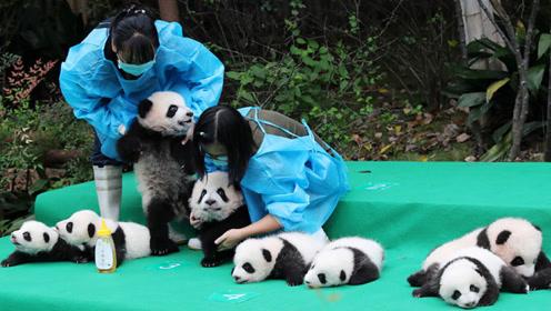 面对饲养员的抱怨,大熊猫接下来的动作实在是太逗了