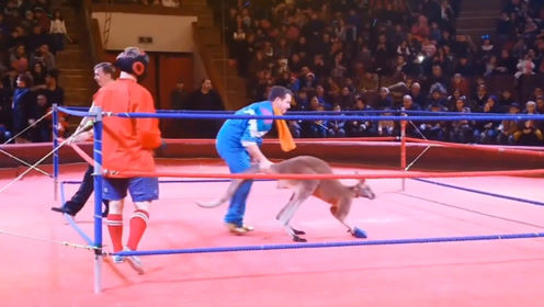 袋鼠拳击比赛三连踢直接KO小伙,最后连裁判也不放过