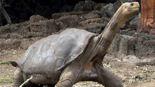 乌龟为何如此长寿?想要活得久,不妨跟乌龟学学!