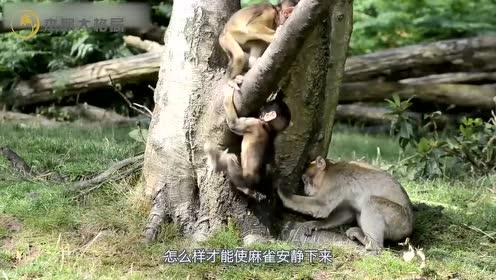 男子假装要剁小猴子的手,母猴着急了,为了救宝宝什么方法都敢用