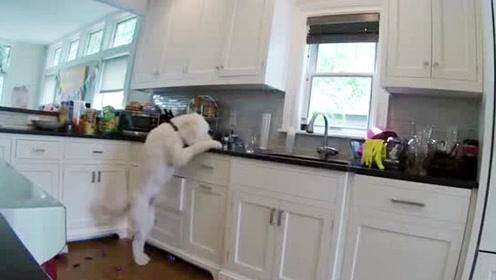 坏狗子厨房偷吃饼干 智商可以堪比福尔摩斯