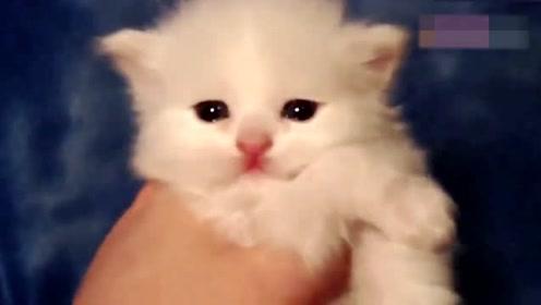 好可爱的小波斯猫,把我的心都萌化了,跟我回家好吗?