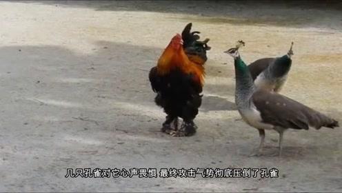 鸡中霸王,误入孔雀群却收起了小弟,下一秒憋住别笑