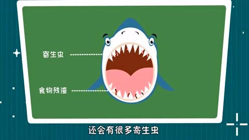 为什么有的鱼会自己游进鲨鱼嘴里?