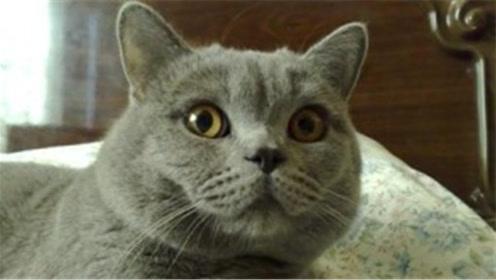 瞄星人来了,教你怎么画一只英国短毛猫!