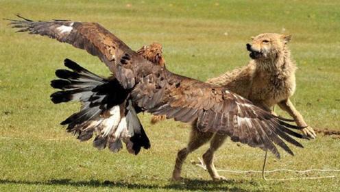 它是野狼的克星!不论野狼战斗力多强,在老鹰面前也只能求饶
