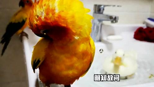 鹦鹉想要洗澡,却又是相当的无助啊,洗完澡还不忘秀恩爱