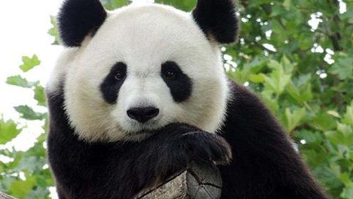 熊猫界的百岁老人  137只滚滚都是它的后代