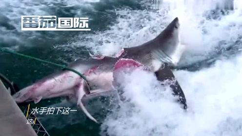 人类拍下大白鲨撕咬打斗极罕见画面,尖叫连连