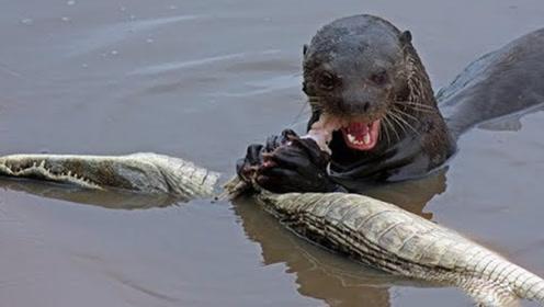 """比""""平头哥""""还嚣张,吃鳄鱼就像吃大辣条,网友:真是活久见啊!"""