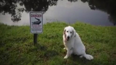 巨鳄冲出狠咬爱犬 75岁主人竟一脚踹飞
