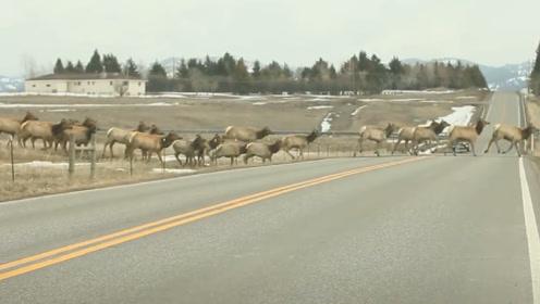 1000只麋鹿集体横跨栏杆,最后一头短腿急了,镜头记录全过程