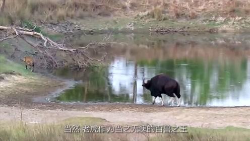 世界上最大的牛,是牛魔王原型,老虎见了它常常像猫一样溜走