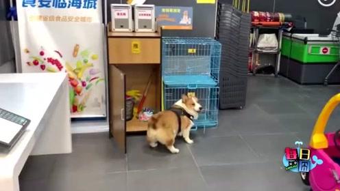 又一只狗狗成精了,像极了陪女友逛街终于看到了沙发的感觉