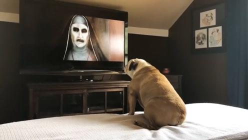 斗牛犬看恐怖片,感到有危险时情绪十分激动,网友:成精了!