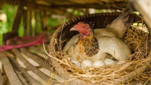 为什么家里没有养公鸡,母鸡却能天天下蛋?你知道为什么吗?