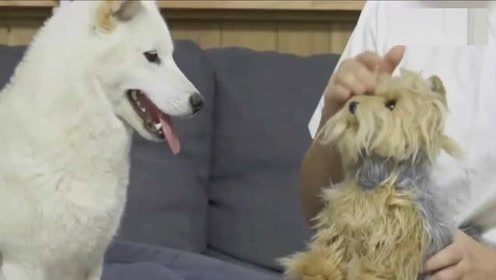 """狗狗的嫉妒心到底有多强?用一只""""小狗""""测试三只狗狗的反应"""