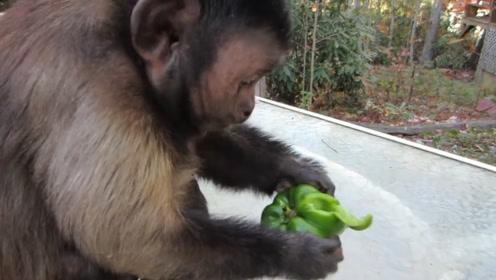 游客给猴子扔了一个辣椒,猴子当成宝贝一口咬下去,辣的全身发痒