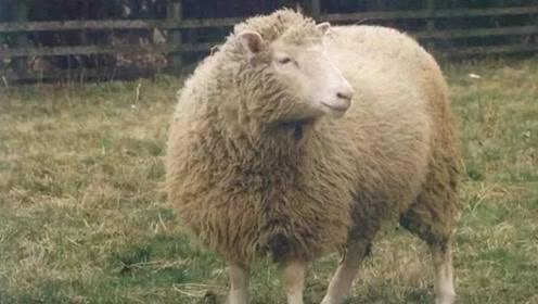 """当年的第一只克隆羊""""多莉""""竟然变成了怪物 结局令人唏嘘"""