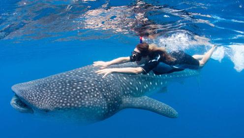 涨知识了,世界上最大的鱼不是鲸鱼,是一种体长超10米鲨鱼