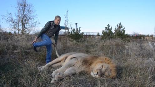 雄狮还在睡觉,男子一皮鞋呼在狮子脸上,雄狮:你看我理你不