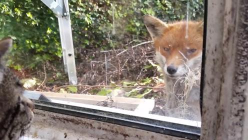 野生狐狸瞄上正在拍摄的主人,下一秒露出的眼神,让人后背脊一凉