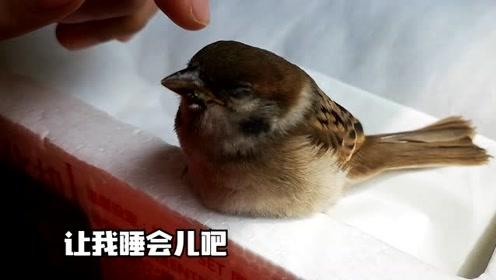食物果然是生命不可缺少的,小麻雀吃了东西后,终于有了精神了