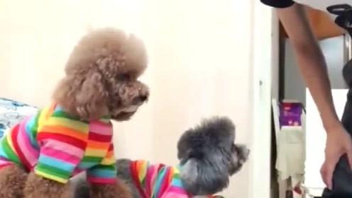 泰迪小狗有多聪明,这个视频来测智商