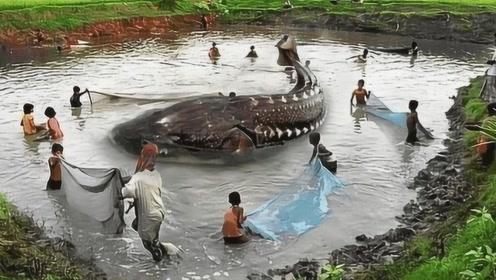 黑龙江捕获全球最大淡水鱼,重达2000斤,为何专家脸色突变?