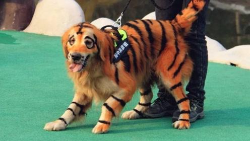 无语!当狗子遇见假老虎,竟然直接叫大哥