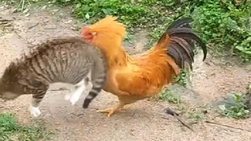 鸡:就你这三脚猫功夫也敢跟我打