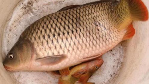 黄河水浑浊,为什么鲤鱼却长得又大又肥?很多人感到疑惑