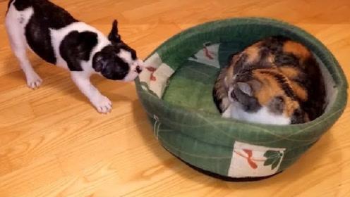小猫咪把狗狗的床占了,狗子试图去夺回,猫咪:花里胡哨