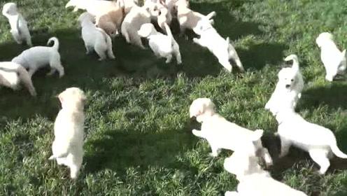 一大波拉布拉多幼犬等你来认领!你心动了吗