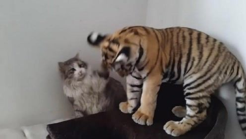 """家里来了一只小老虎,猫咪用两""""巴掌""""问候,下一秒主人笑喷"""