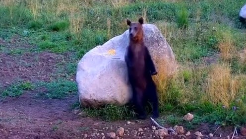 可爱棕熊背靠大石头上摩擦挠痒痒,舞王风范十足