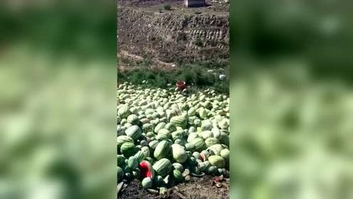 """长在地里的西瓜很快就能被人""""摘""""完,扔在地里的却无人要"""
