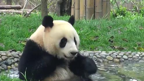 大熊猫当众搓澡,围观游客看了直捂眼:撒娇卖萌无下限!