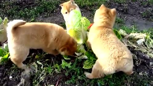 家里有恶犬啊 好好的大白菜都被他们啃了!