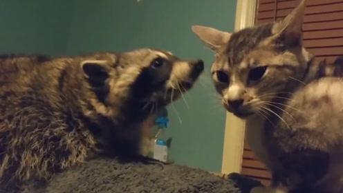千万别让浣熊撸到猫,不然根本停不下来,一揉就是一辈子