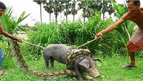 野猪被巨蟒缠绕吞食,被男子勇救后,意想不到的事情发生了