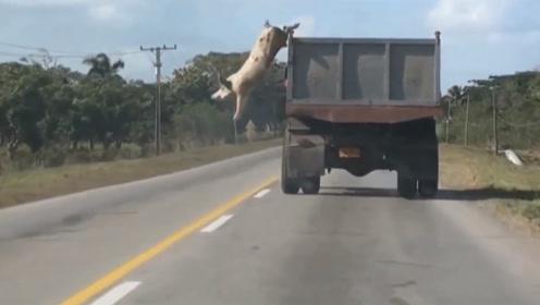 300斤大肥猪不愿被杀,高速公路上演绝地求生,从卡车上跳下!