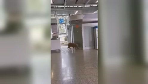 野猪窜入南京地铁站,这边生态这么好啊