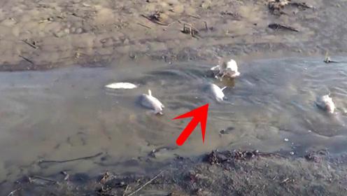 河水干枯,鱼全部都搁浅了,这下可以抓鱼了!