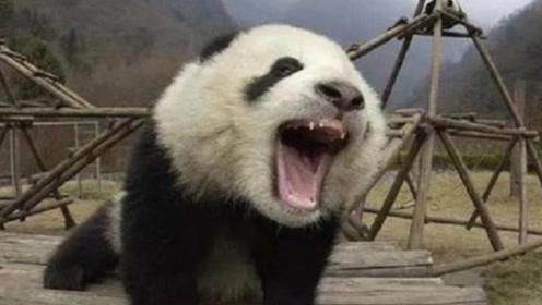 为什么老虎狮子不攻击大熊猫?看过熊猫生气的样子,你就明白了!