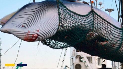 为何日本宁愿补贴80亿,也要大肆捕杀鲸鱼?真实原因让人愤怒