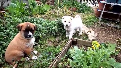 萌宠 可爱的小狗子还能看家呢,你个小样,能看啥呢!