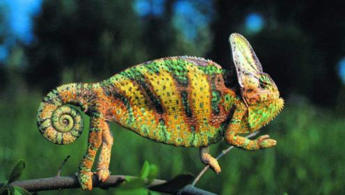 变色龙是根据环境变色吗?专家解开谜题,原来运用了纳米科技!