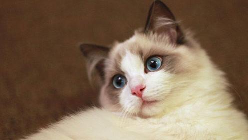 布偶猫为什么昂贵?原因在这,主要有这2点